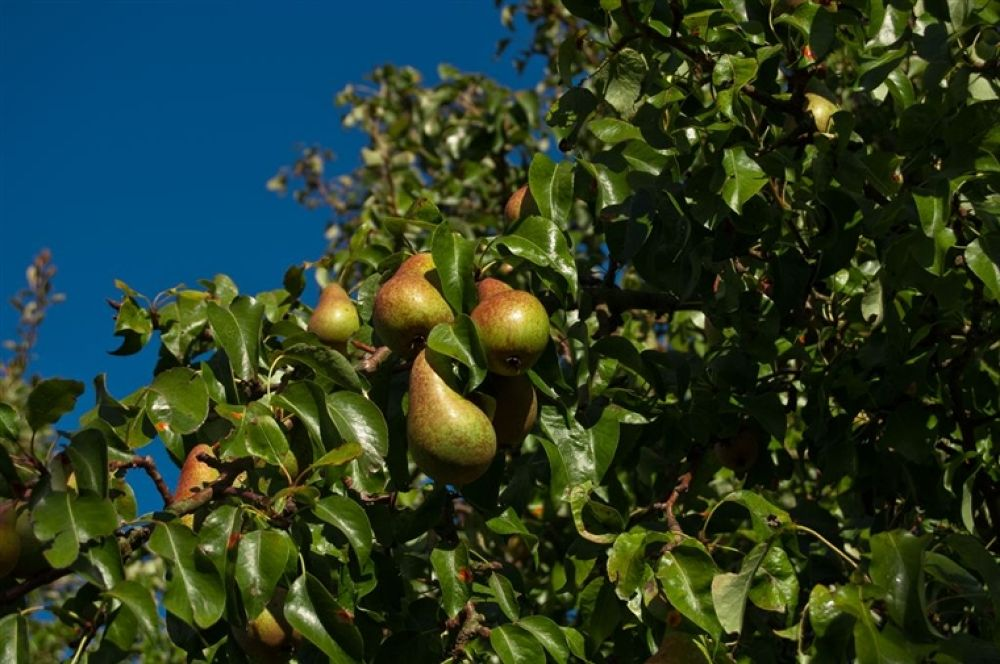 Photo in Random #pears