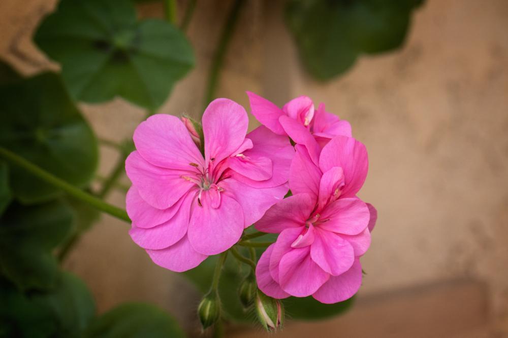 Photo in Nature #nature #flower #pink #geranium #garden