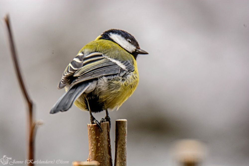 Photo in Animal #fåglar #tättingar #mesar #natur