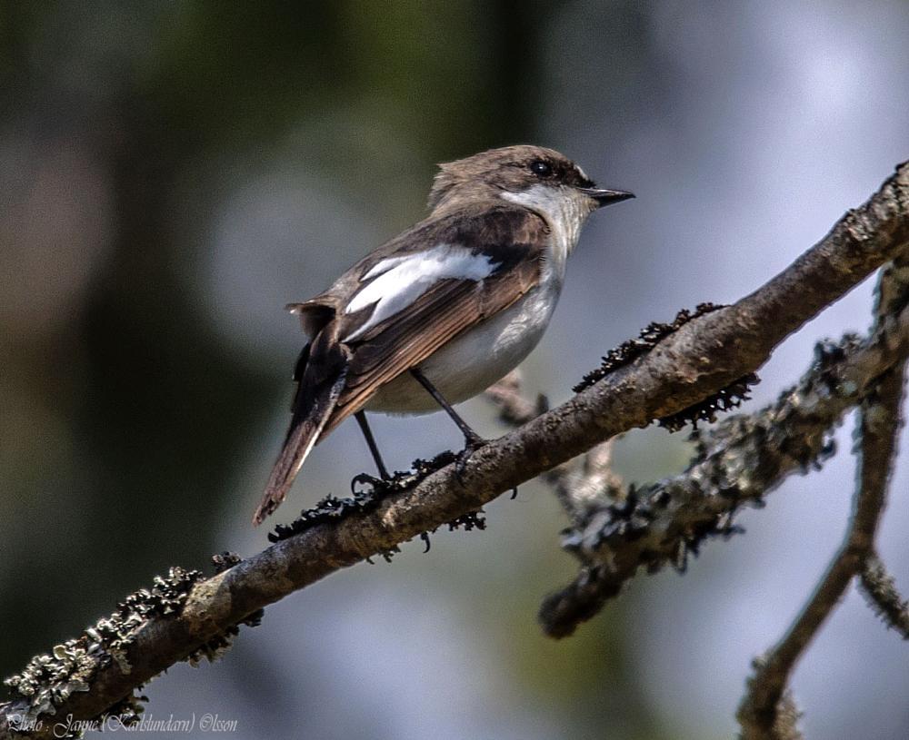 Photo in Animal #fåglar #flugsnappare #natur