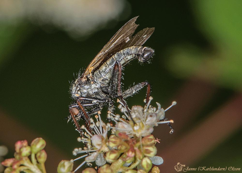 Photo in Animal #insekter #flugor #tvåvingar #natur