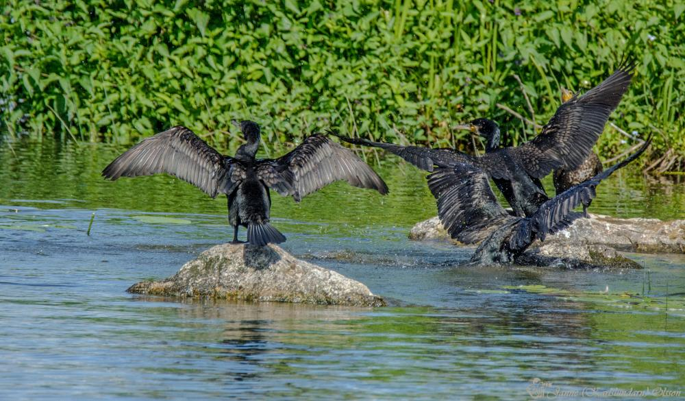 Photo in Animal #fåglar #skarvar #sulfåglar #natur