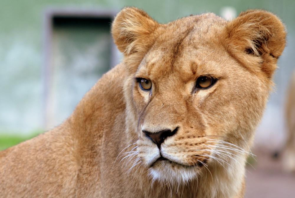 Photo in Animal #lion #zoo #stichting leeuw #hoenderdaell #anna paulowna