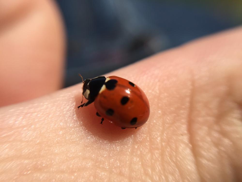 Photo in Macro #macro #ladybug #macrolens