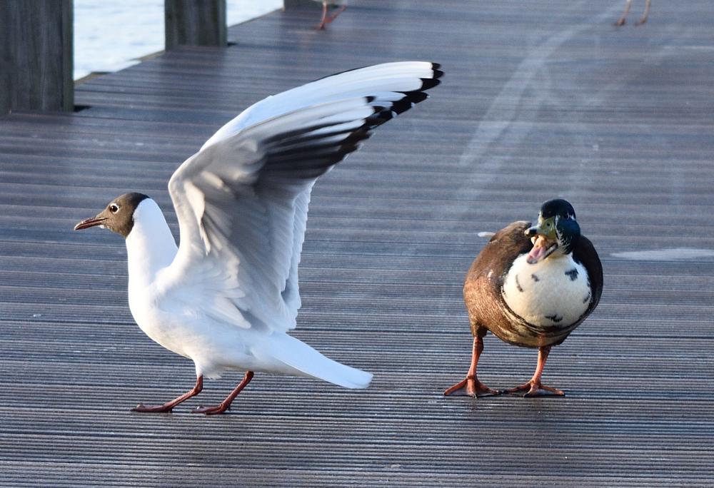 Photo in Animal #birds #gull #duck #aalsmeer