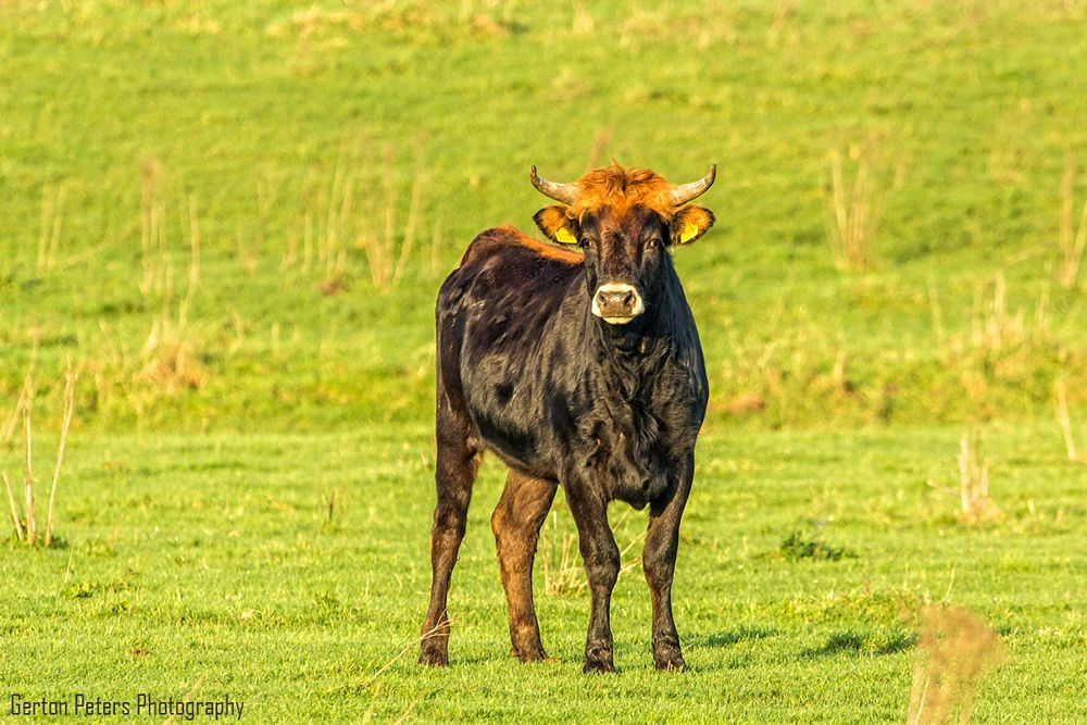 Photo in Animal #animal #nature #cow #cattle