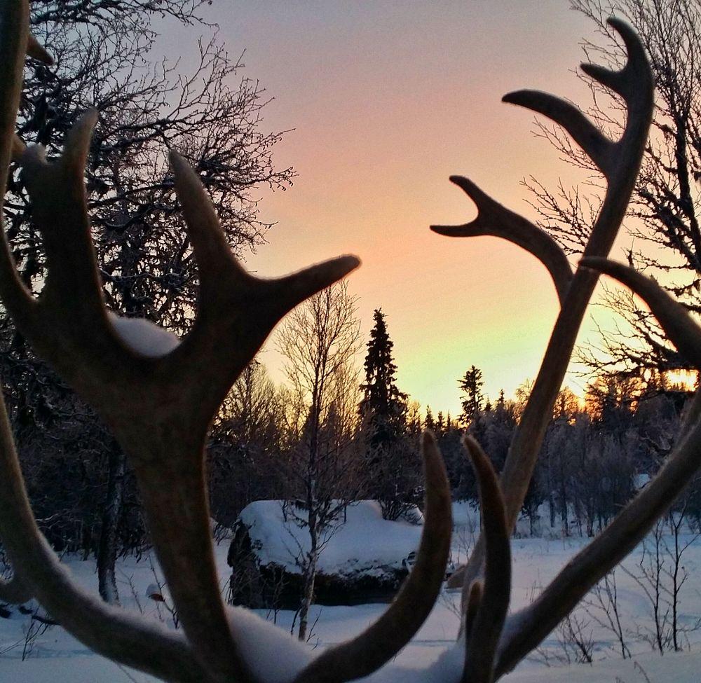 Photo in Random #reindeer #antlers #cabin #snow #winter #sunset #nature