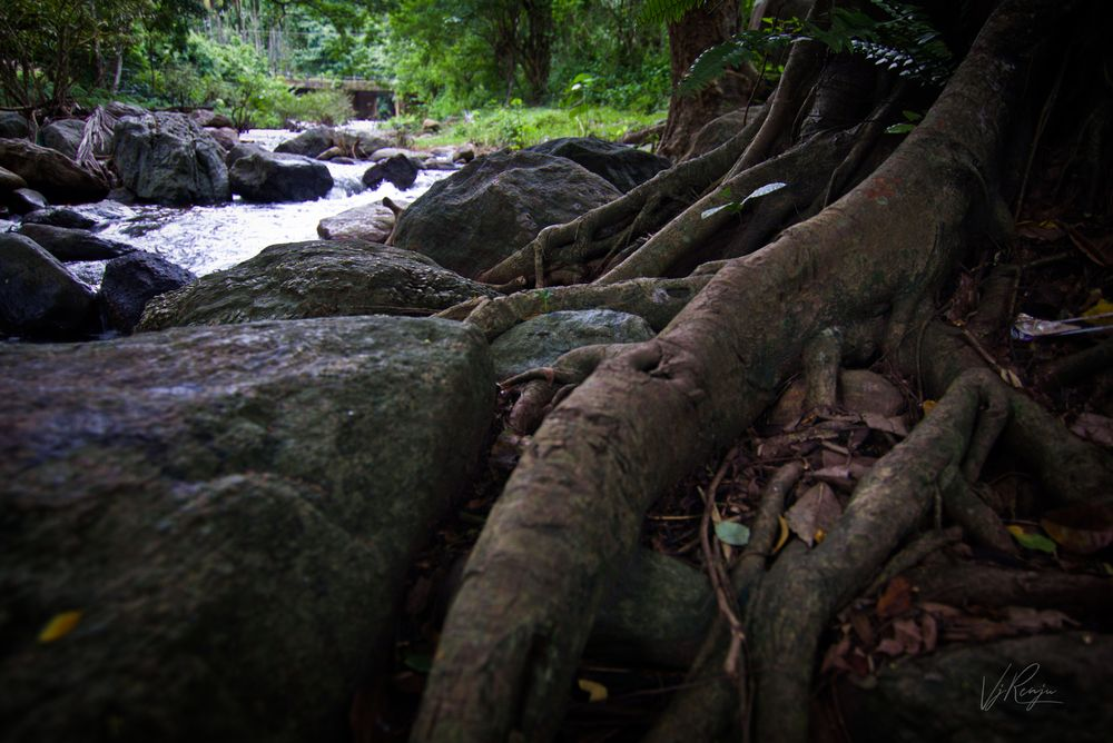 Photo in Nature #tree #roots #stem #stream #rocks #nature