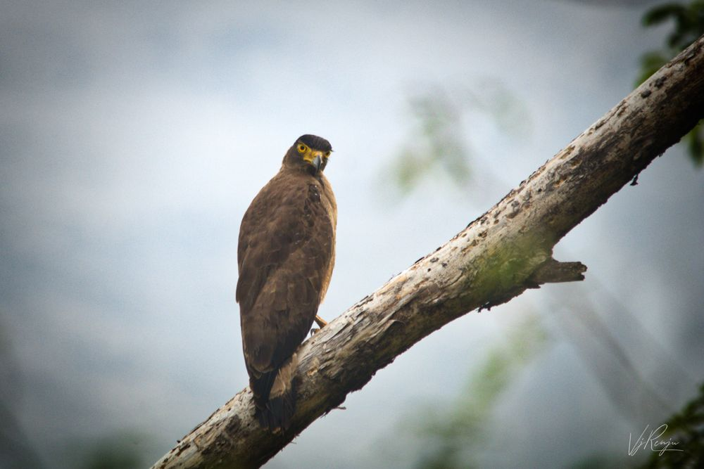 Photo in Nature #serpent #eagle #bird #nature #tree #forest