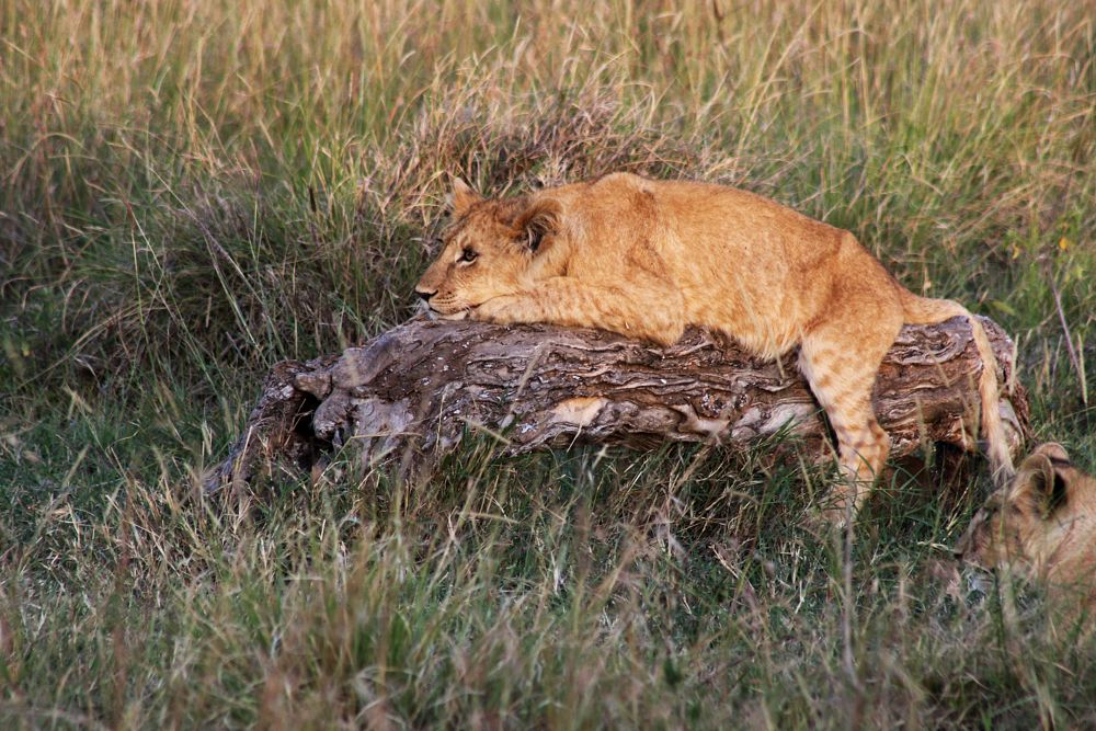 Photo in Animal #lion #mara triangle #little governors