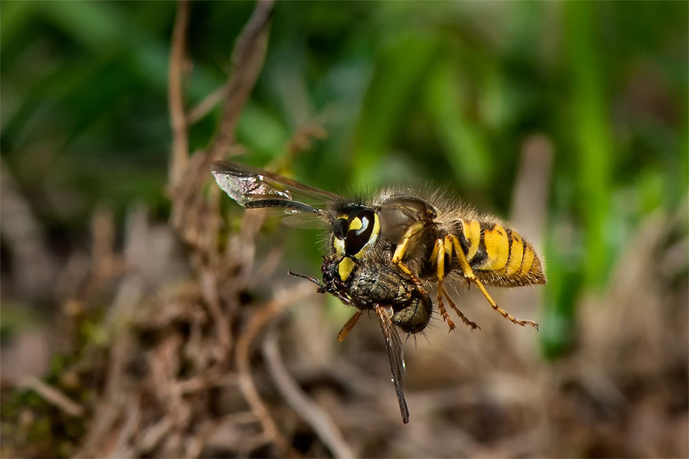 Photo in Macro #wasp #fly #insects #macro #nature
