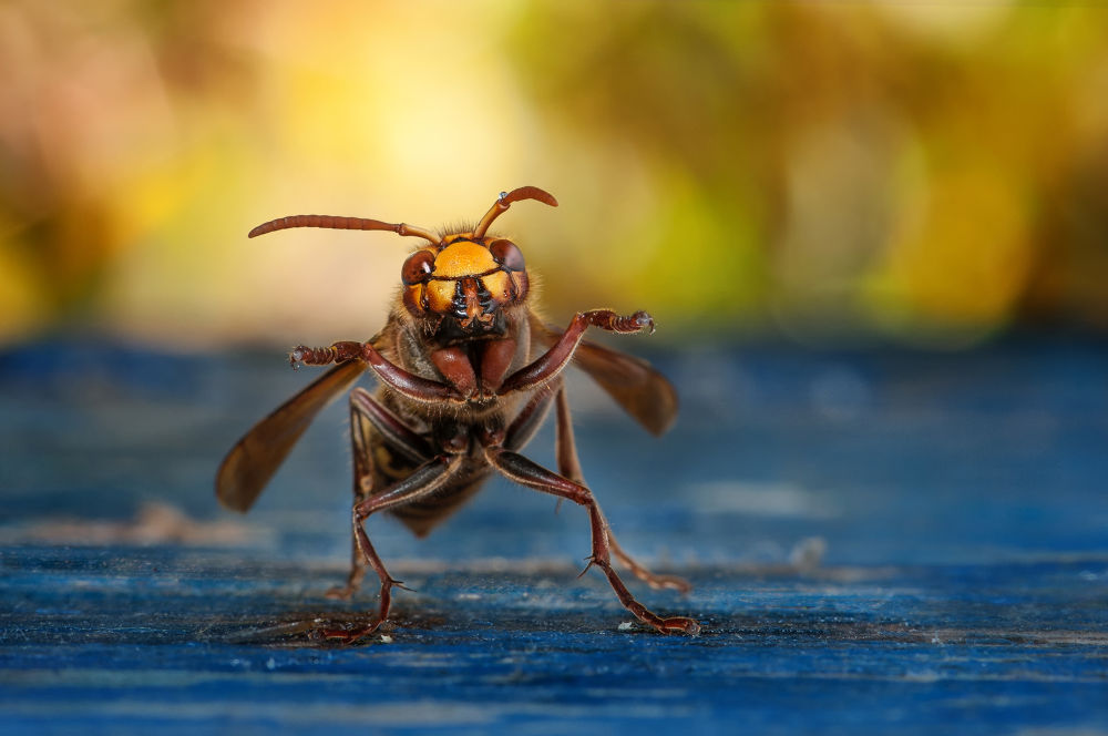Photo in Macro #hornet #insects #macro #nikon #crazy #fun #105mmnikkor