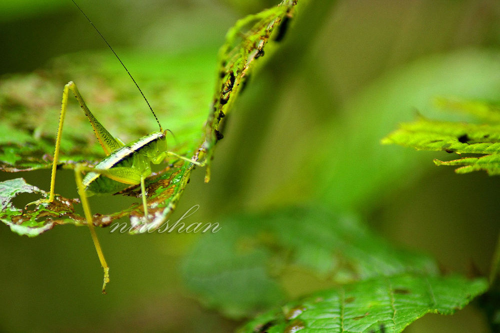 Photo in Macro #green #nepal #grasshopper #nature #color #leaf #macro #insect #animal