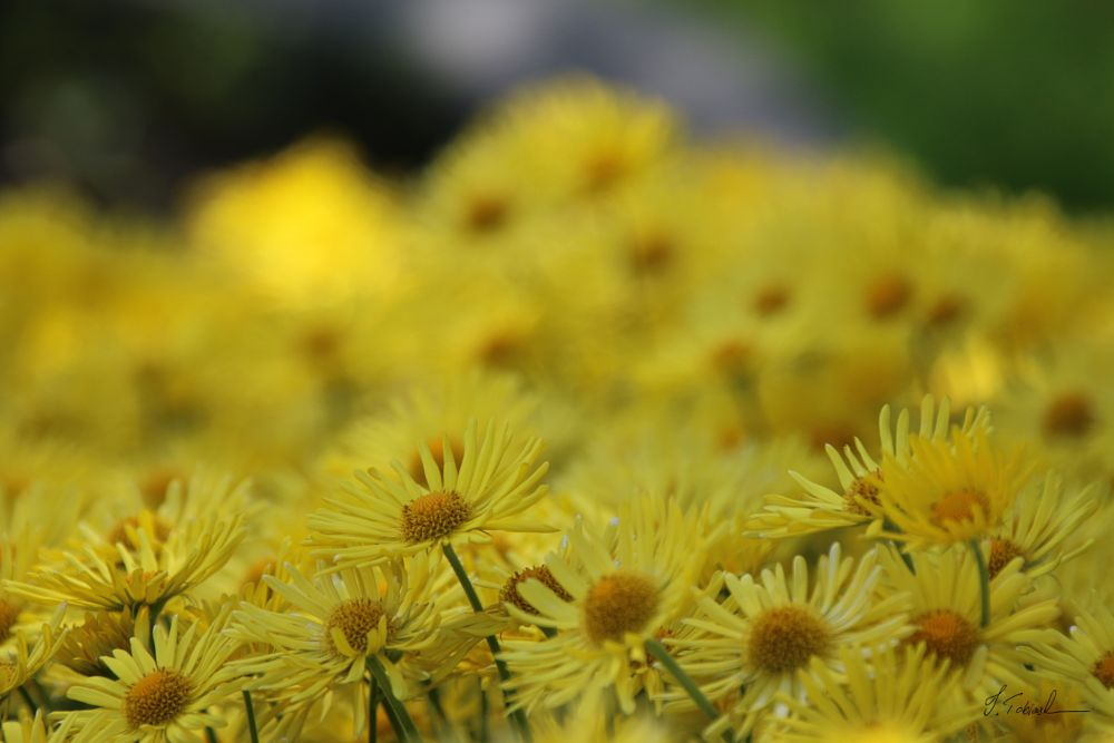 Photo in Random #vättlefjäll #angered #goteborg #spring #flower #yellow #garden