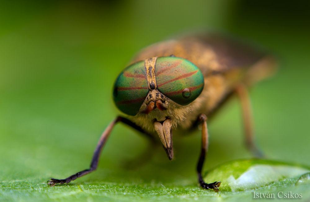 Photo in Macro #tabanus #horsefly #macro