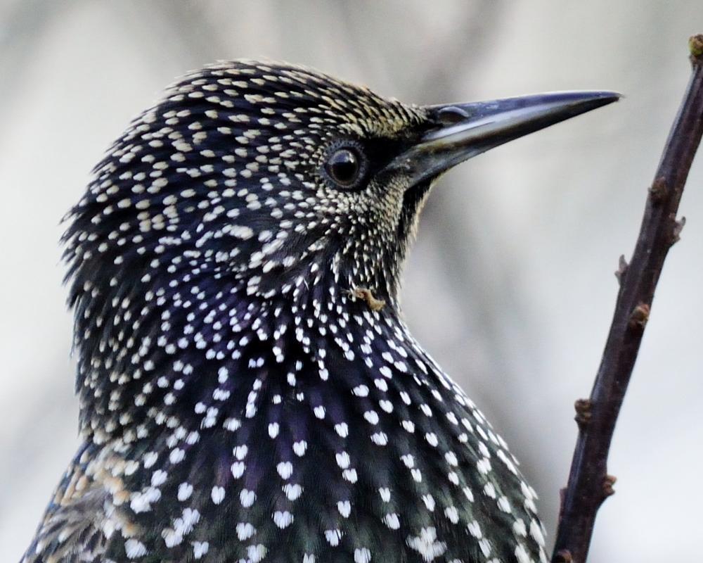Photo in Nature #starling #nature #wildlife