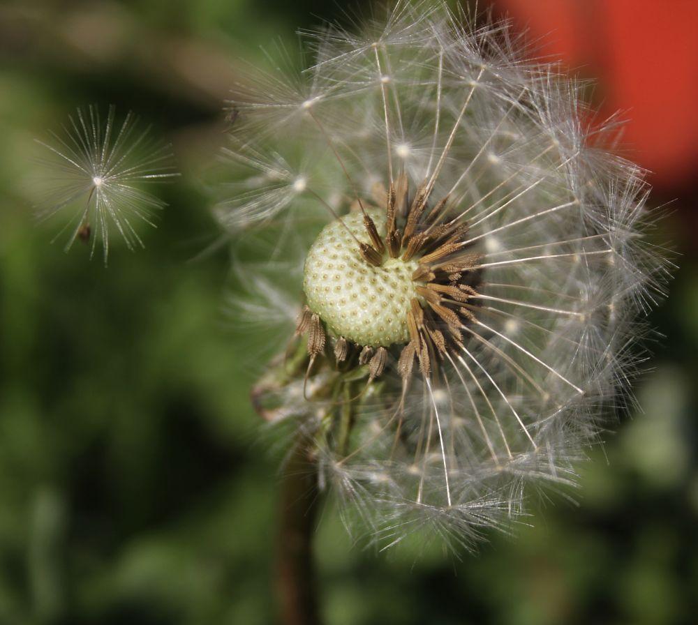 Photo in Nature #dandelion #clock