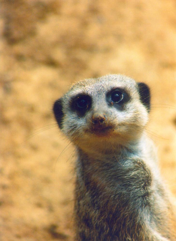 Photo in Animal #meerkat #zoo #san francisco