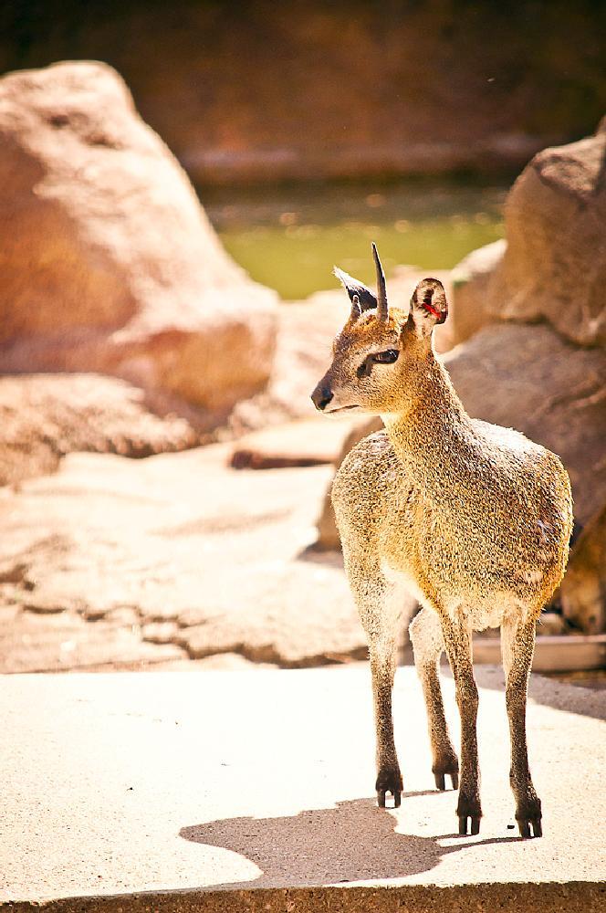 Photo in Animal #duiker #animal #africa