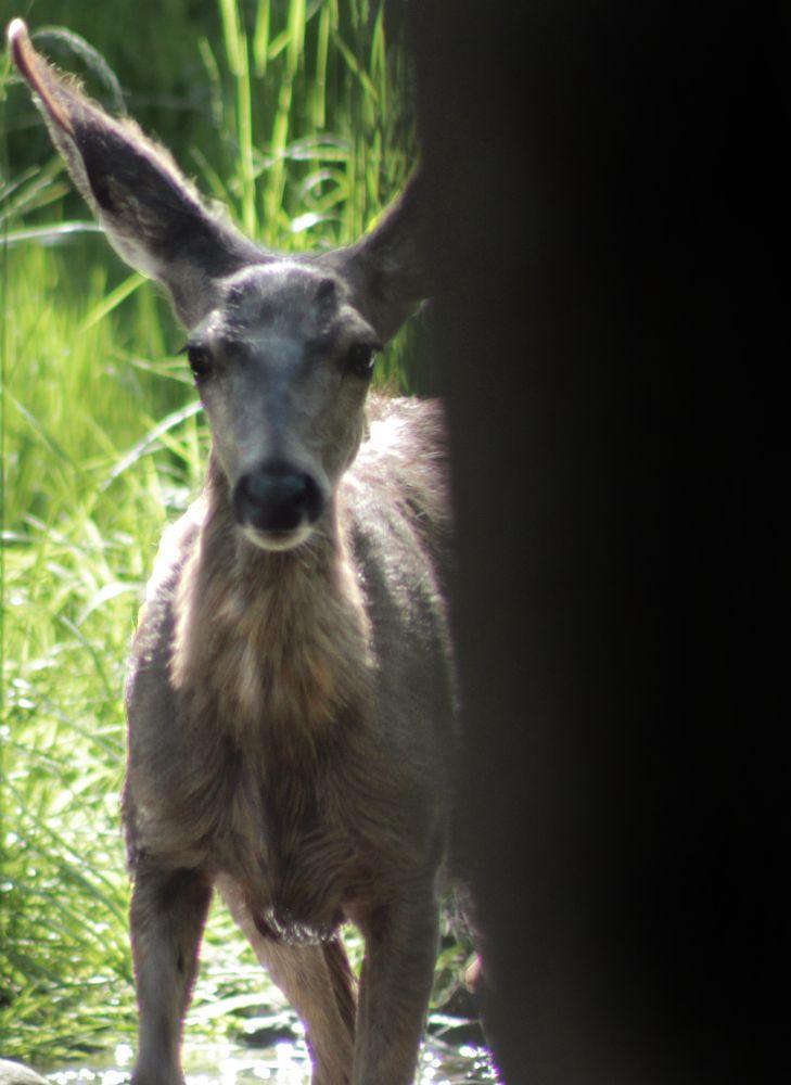 Photo in Animal #peek a boo #i #see #you #deer #animal #wild #doe #buck #cute #fluffy #woods #forest #trees #peek #a #boo