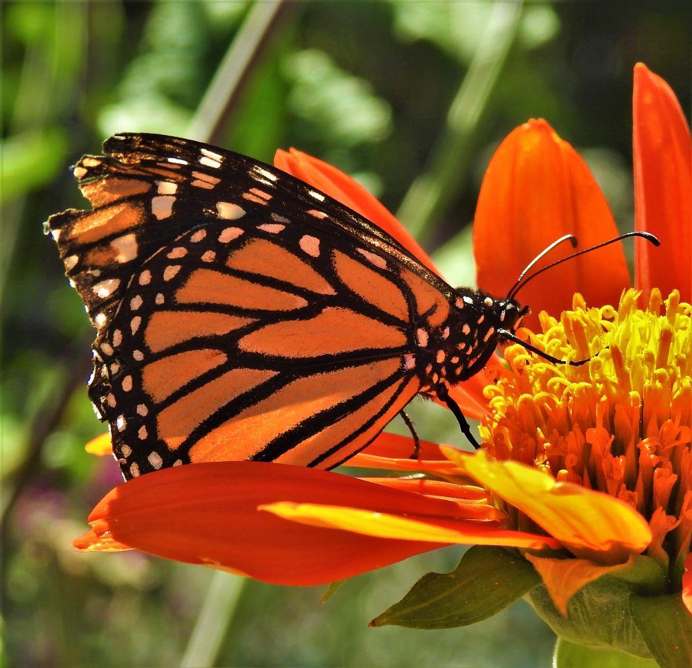 Photo in Macro #orange #flor #flower #mariposa #buttefly