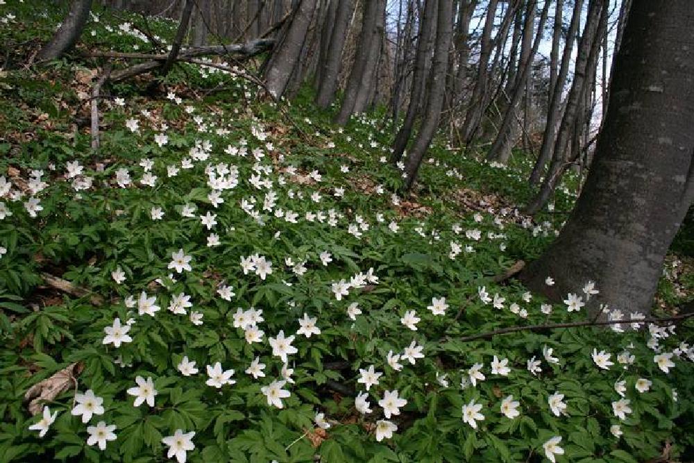 Photo in Random #flawers #anemone #peisaj #natura #verde