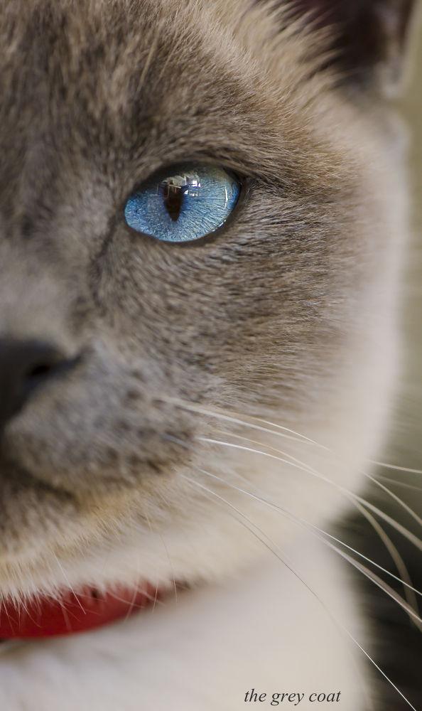 Photo in Animal #cat #chat #kitty #chaton #yeux #eyes #oeil #animal #portrait #bleu #blue #moustache