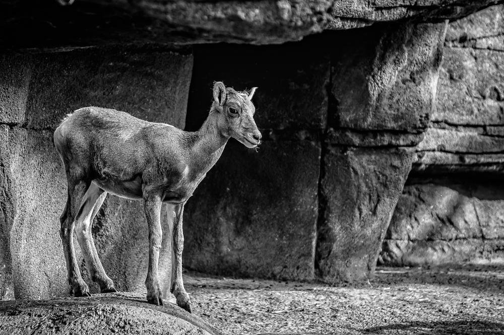 Photo in Animal #bighorn sheep #animal #b&w #sheep