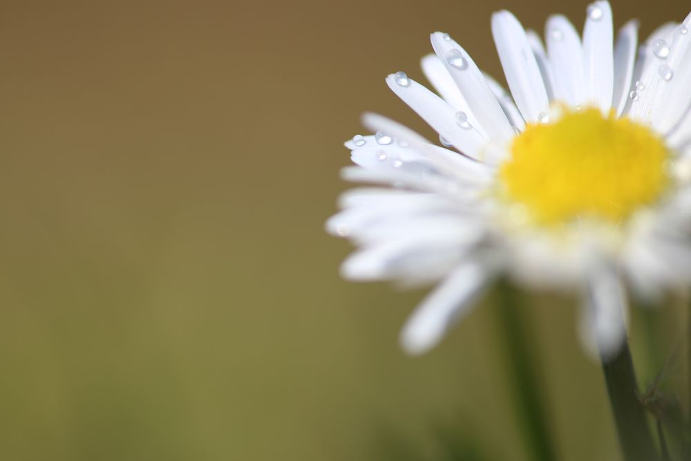 Photo in Macro #dew #madeliefje #flower #floral #flora #garden #field #spring #season #macro #close up