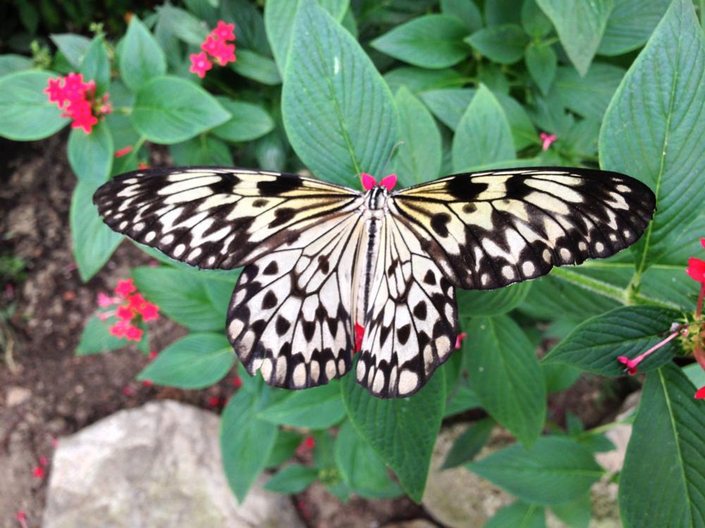 Photo in Animal #buterfly #vlinder #vlindertuin #zeeland #nederland #kwadendamme