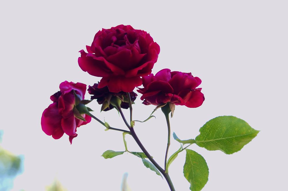 Photo in Nature #youpic #pentax #roses #flowers #red #green #summer