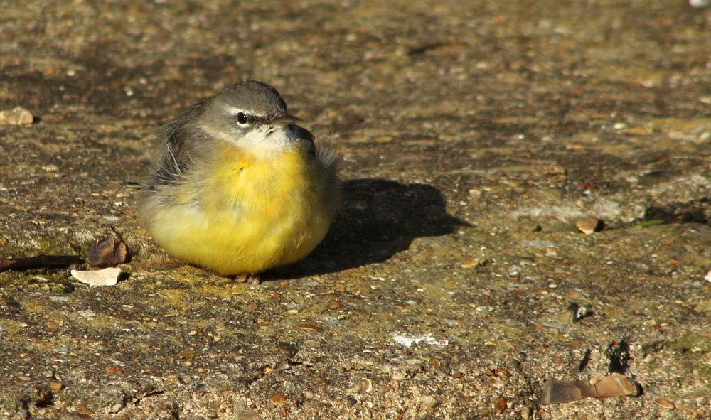 Photo in Nature #stones #concrete #grey wagail #resting #sun bathing #yellow #fluffy #bird #shadow