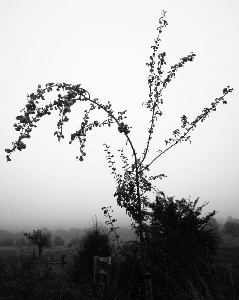 Photo in Black and White #autumn #chilterns #mist #fog #misty #foggy #apples #stile #crab apple