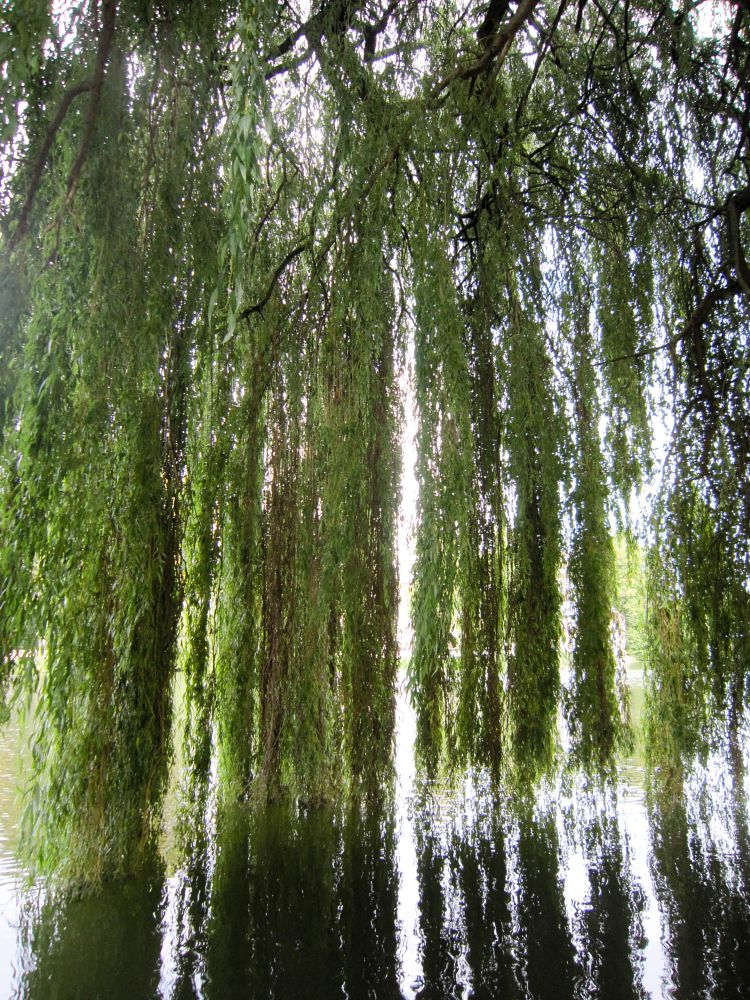Photo in Random #reflections #willow #river thames #thames #cookham #river