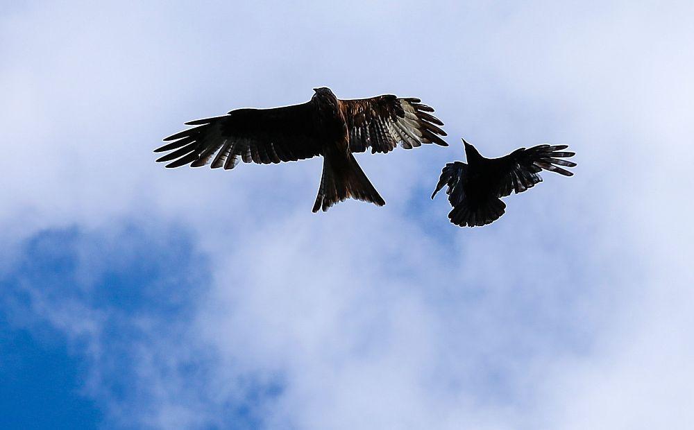 Photo in Animal #red kite #crow #bird of prey #birds #falcon