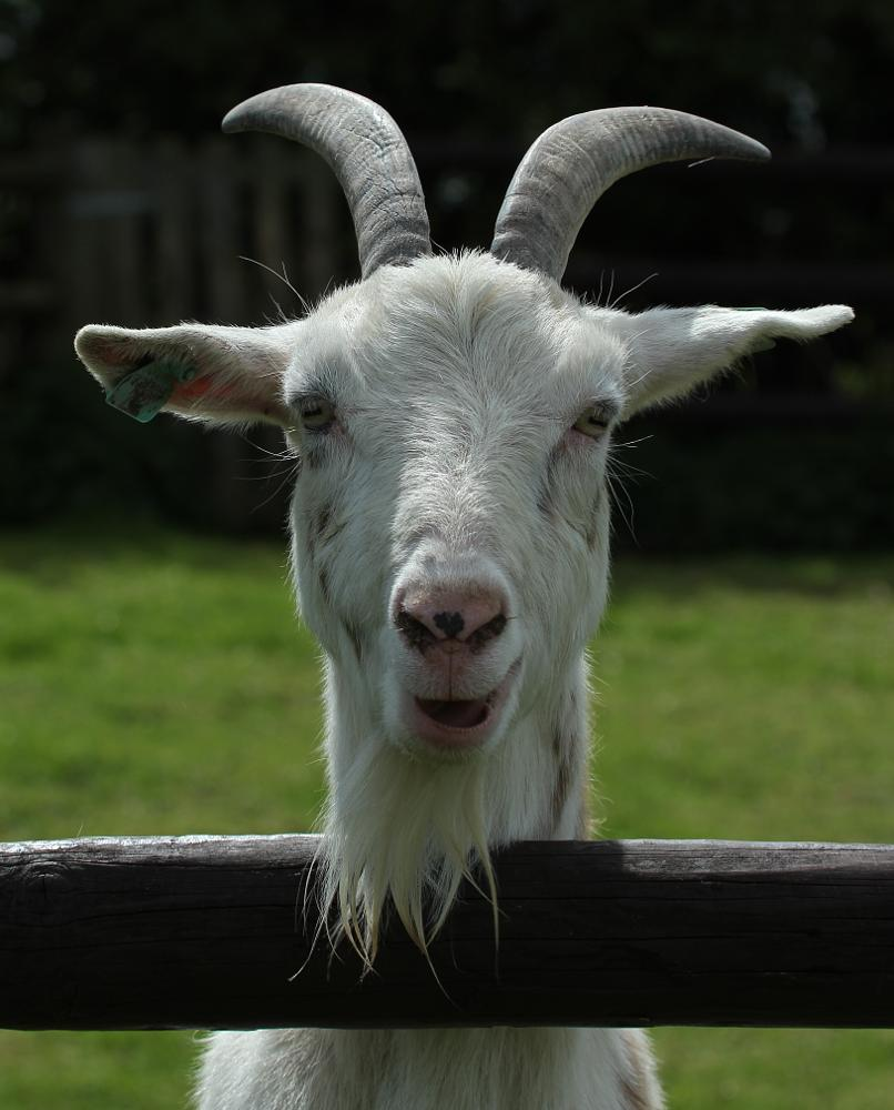 Photo in Animal #goat #farm animals