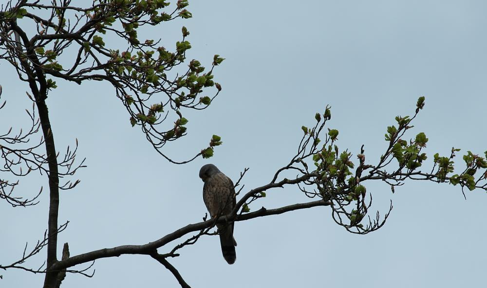 Photo in Animal #hawk #bird of prey #merlin