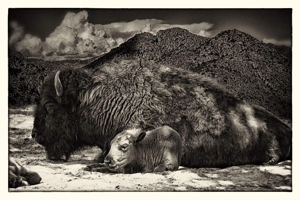 Photo in Animal #buffalo #bison #animal