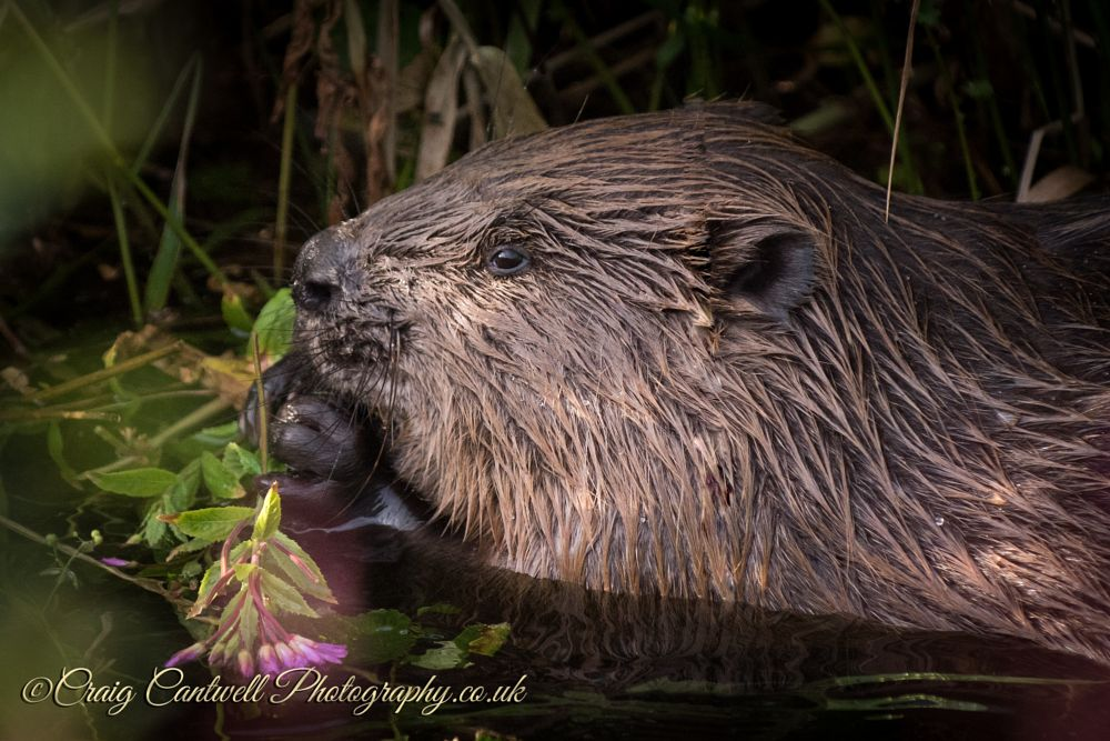 Photo in Animal #beaver #scotland #angus #visitangus #beaver feeding #craig cantwell photography