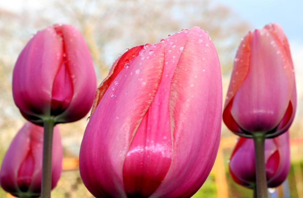 Photo in Nature #tulips #plants #garden #rain #raindrops #macro