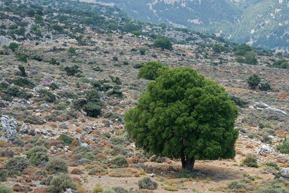 Photo in Landscape #tree #baum #landscape #landschaft #crete #kriti #kreta #griechenland #greece