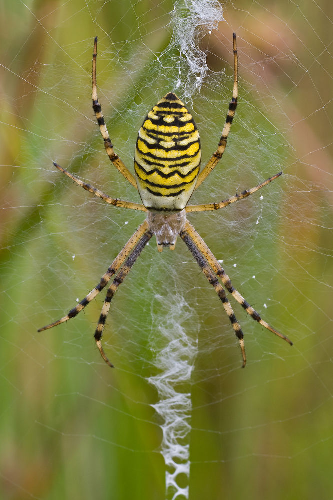 Photo in Animal #spider #spinne #waspspider #wespenspinne #tier #animal #gelb #yellow #.macro #makro #ypa2013