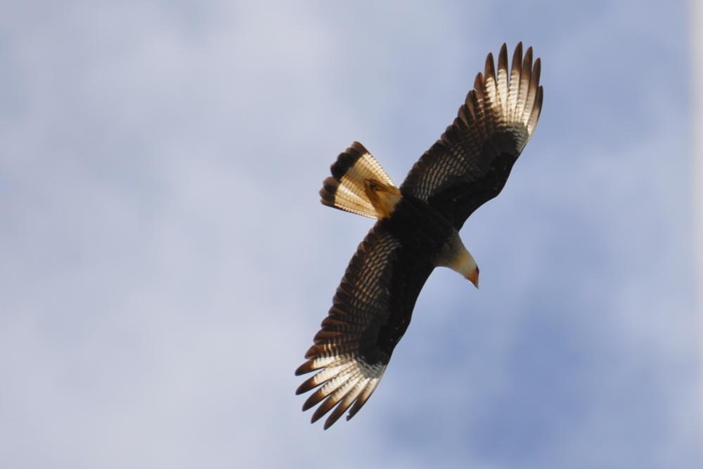 Photo in Animal #southern crested caracara #caracara plancus #bird