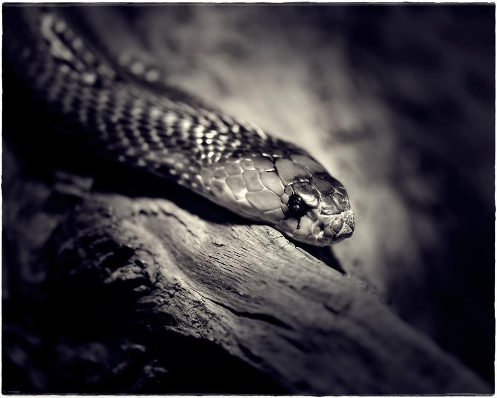 Photo in Animal #animalstiereschlangedchroc