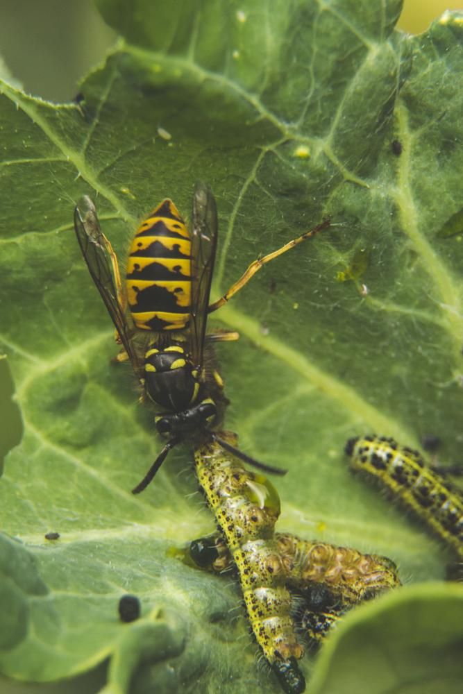 Photo in Macro #wasp #insect #caterpillar #animal #nature #macro #garden #plant #leaf #food chain #summer