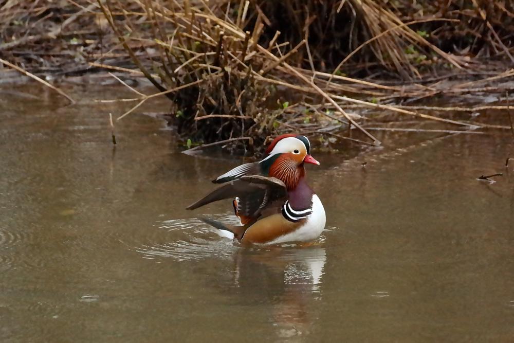 Photo in Animal #mandarin duck #duck #bird #animal