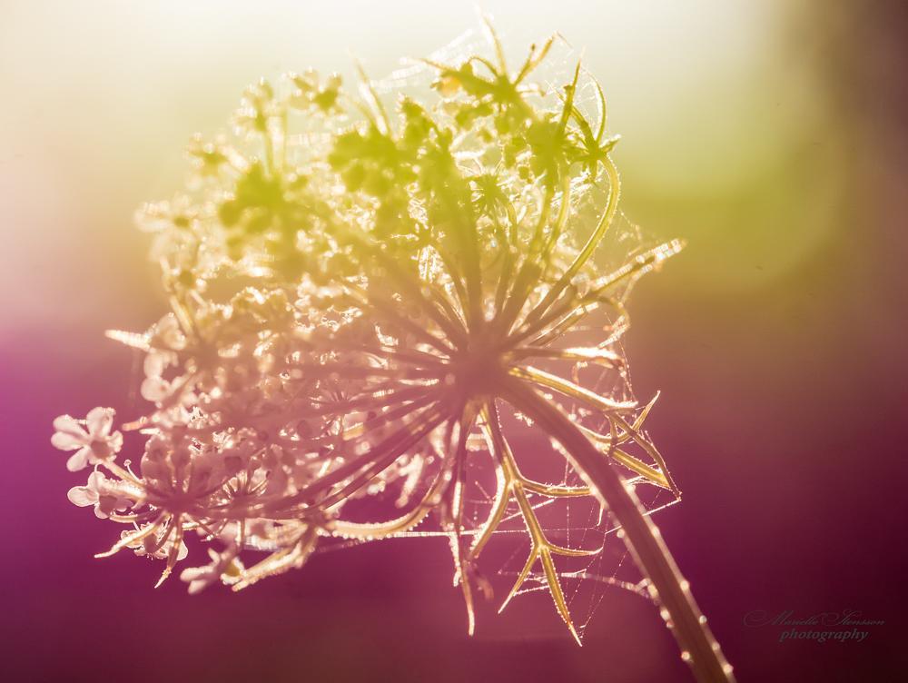 Photo in Macro #flower #sunset #nature