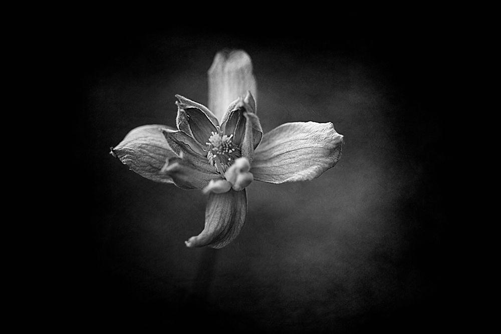 Photo in Fine Art #flower #clematis #texture