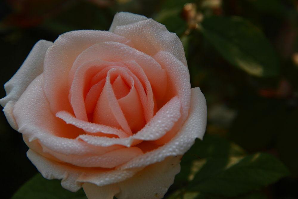 Photo in Nature #rose #çiçek