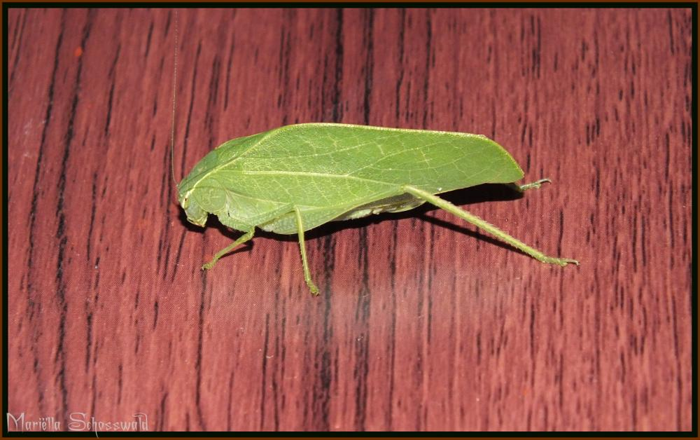 Photo in Animal #leaf mimic katydid #costa rica #midden amerika #middle america #insect #insekt #grasshopper #center #america